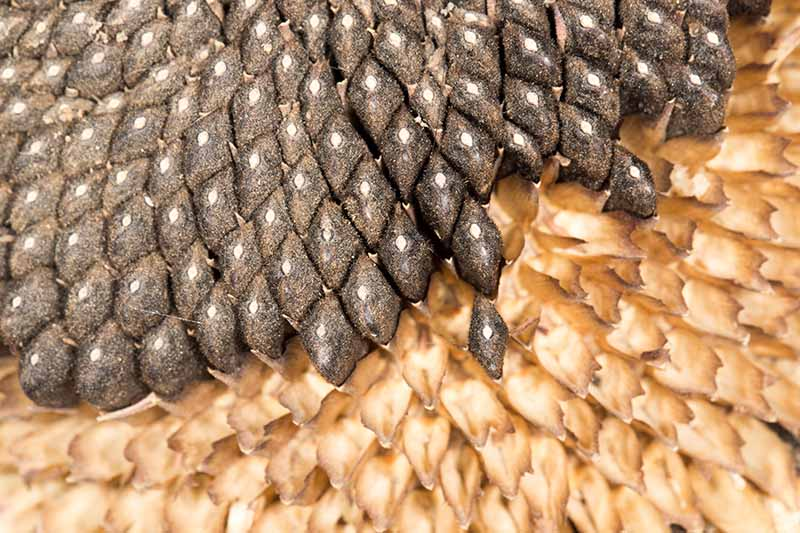 A close up of the seeds in the center of a sunflower, ready to harvest.