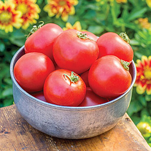 A close up of a metal bowl containing red ripe tomatoes, set on a wooden table in the garden with flowers in soft focus in the background.