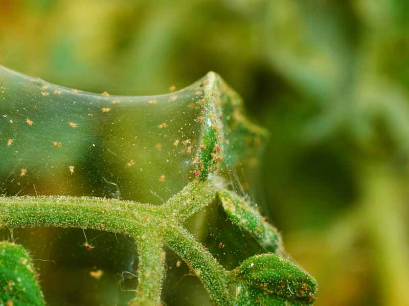 A close up of a colony of two-spotted spider mites, Tetranychus urticae, on a green branch, pictured on a soft focus background.