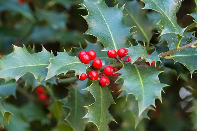 A close up of the spiky leaves and red berries of the common holly plant on a soft focus background.