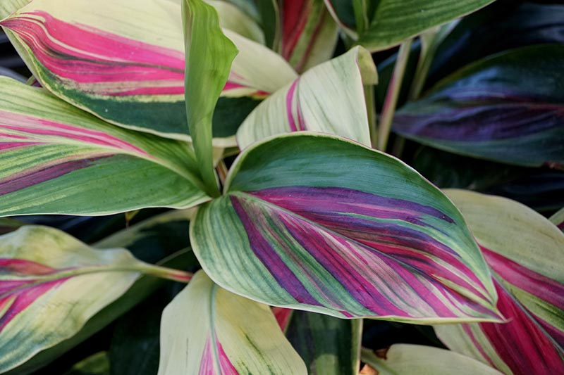 A close up of the variegated leaves of the Cordyline fruticosa plant, on a soft focus background.