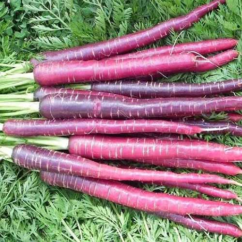 A close up of freshly harvested and cleaned 'Cosmic Purple' carrots set on a background of foliage.