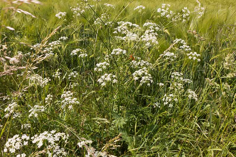 Cow parsley growing in a field with white flowers and upright, green foliage.