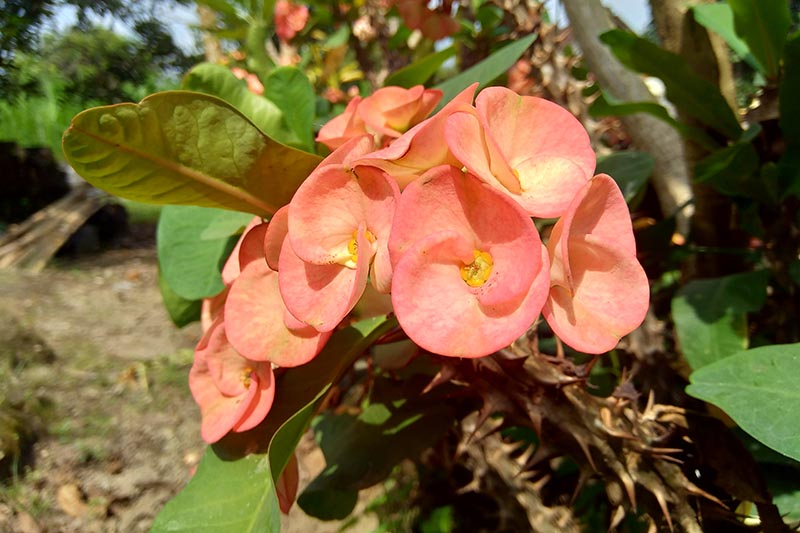 A close up of the orange flowers of the crown of thorns plant growing in the garden on a soft focus background.