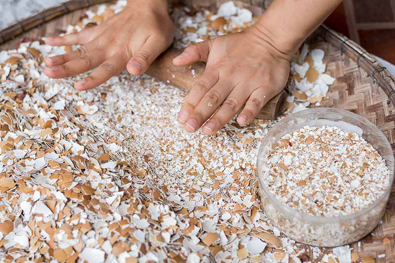 A close up of two hands from the top of the frame using a rolling pin to crush and grind up cleaned and dried eggshells on a wicker basket surface.