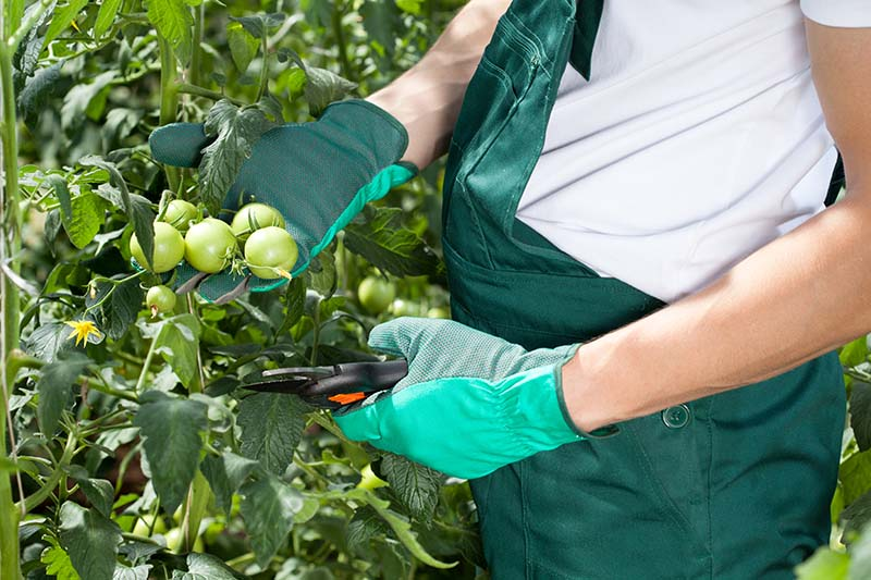 A close up of gloved hands from the right of the frame holding pruning shears and clipping green, unripe tomatoes from the vine in light sunshine, fading to soft focus in the background.