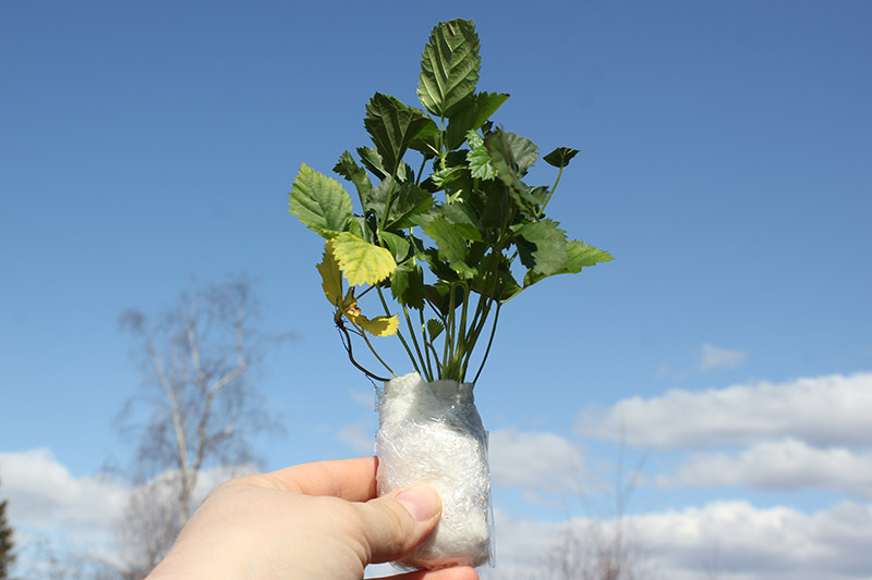 A close up of a small boysenberry seedling wrapped in a paper towel and held up to by a hand from the bottom of the frame, with blue sky in the background.