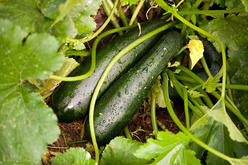 A close up of two dark green zucchini covered in water droplets, growing in the garden in light sunshine.