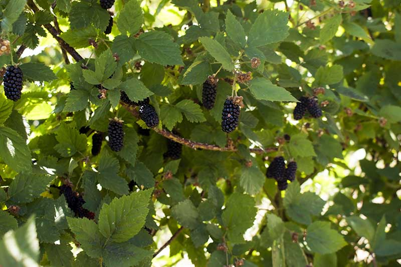 A close up of dark, ripe boysenberries hanging from the branch and surrounded by foliage, pictured in bright filtered sunshine and fading to soft focus in the background.