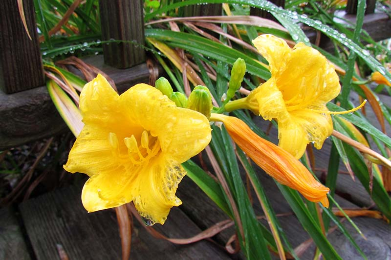 A close up of bright yellow daylily flowers on a wooden deck covered in droplets of water on the foliage and petals.