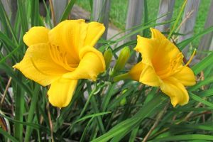 Understanding, Treating, and Avoiding Rust on Daylilies