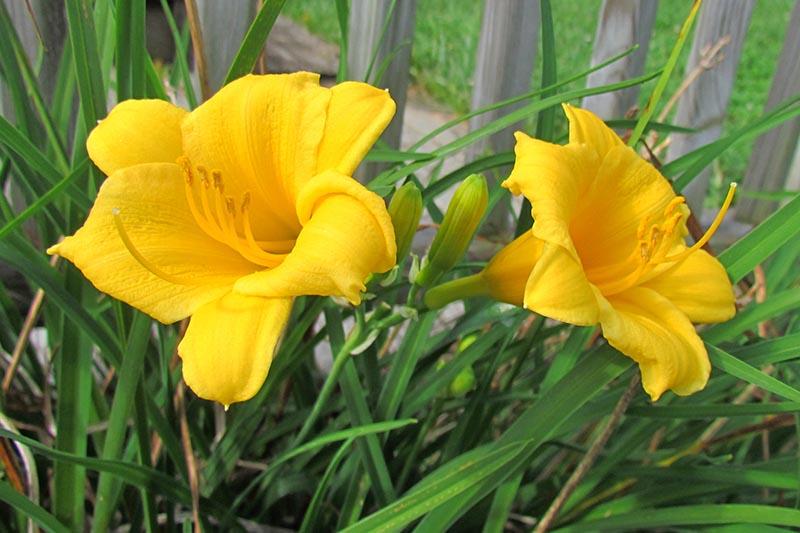 Un gros plan de deux fleurs d'hémérocalle, poussant dans une bordure à côté d'une terrasse en bois, avec des fleurs jaune vif contrastant avec un feuillage vert et droit.