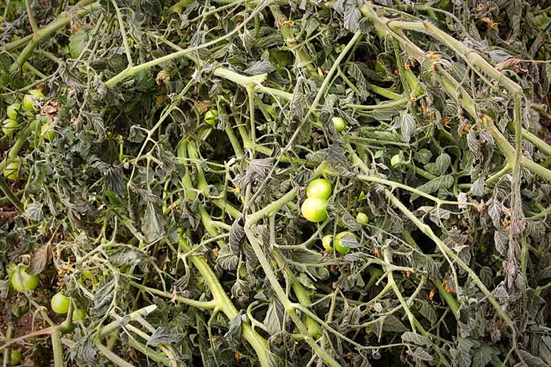 A close up of a dead tomato plant with a few green fruits still on the vine, prior to placing it on the compost pile.