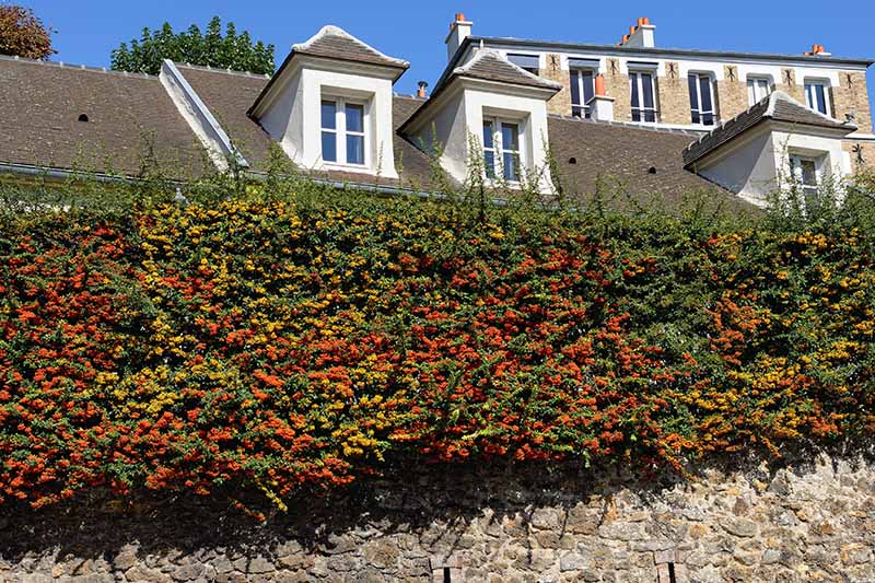A hedge of pyracantha outside a home makes an impenetrable barrier.