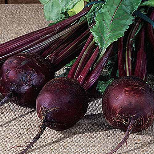 A close up of 'Detroit Dark Red' beets set on a rustic surface with roots and leaves still attached.