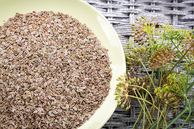 A close up of a bowl of Anethum graveolens seeds set on a wicker surface, with fresh herbs to the right of the frame.