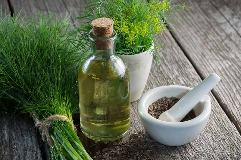 A close up of a small glass bottle containing oil, set on a wooden surface, with freshly harvested Anethum graveolens foliage and seeds to the left and right.
