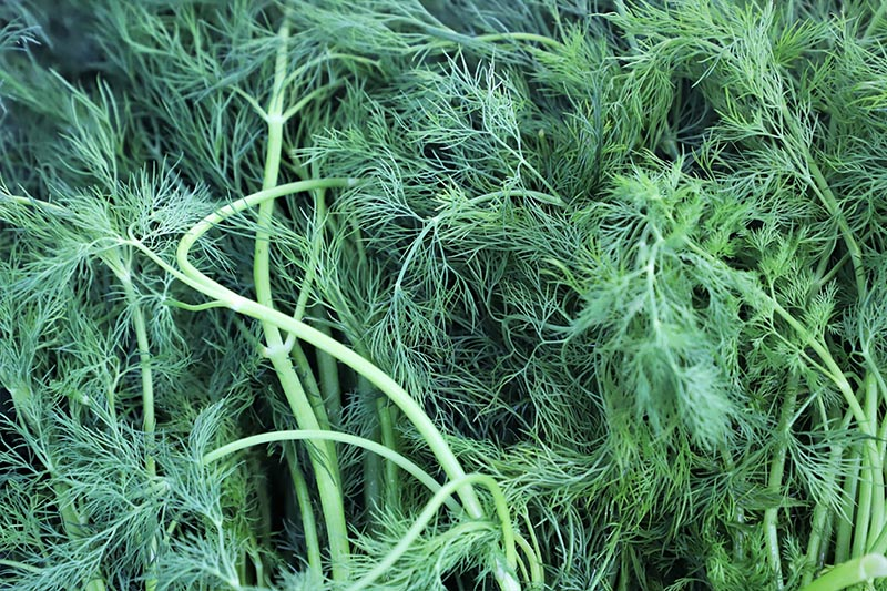 A close up of the delicate, feathery foliage of dill weed, freshly harvested.