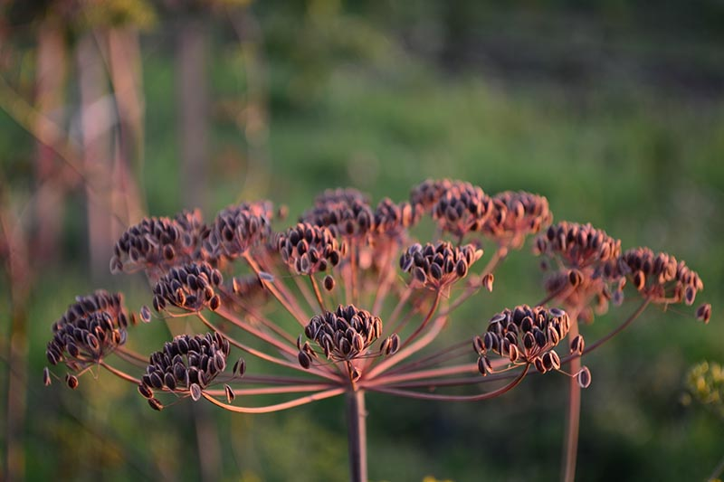A close up of a seed head, drying in the afternoon sun, of Anethum graveolens, or dill weed, with seeds ready to harvest, pictured on a soft focus background.