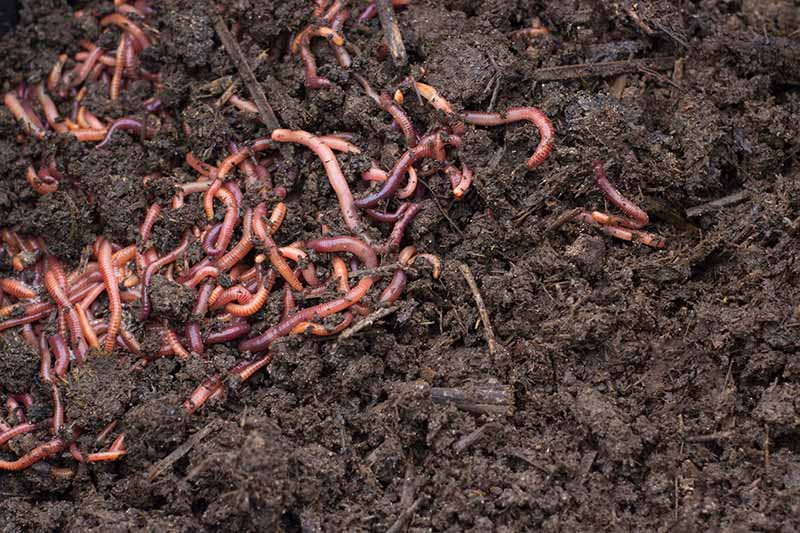 A close up of a collection of earthworms in dark, rich composted garden soil.