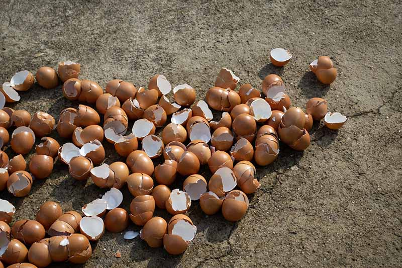 A close up of a large number of eggshells on the ground, after cleaning and drying, pictured in bright sunshine.
