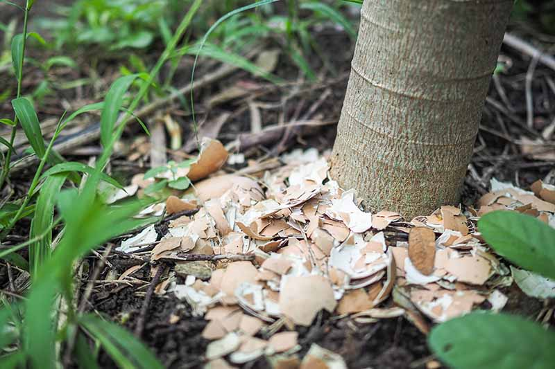A close up of the trunk of a tree with crushed eggshells placed around the base on the top of the soil as a mulch, surrounded by green leaves and foliage, fading to soft focus in the background.