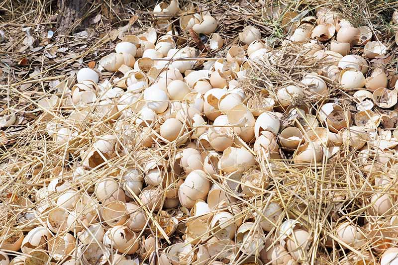 A close up of a large number of discarded eggshells on the ground amongst straw, with fallen leaves in the background.