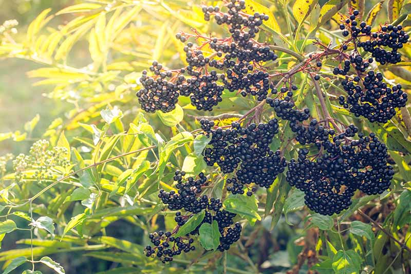 A close up of an elderberry shrub in the autumn sunshine, with large clusters of dark berries surrounded by light green foliage on a soft focus background.