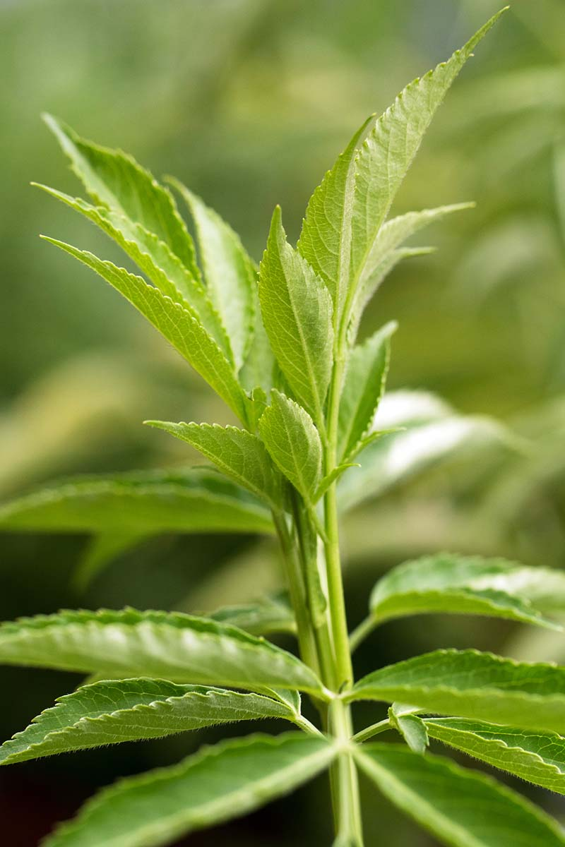 A close up vertical picture of the green foliage of Sambucus nigra on a soft focus background.