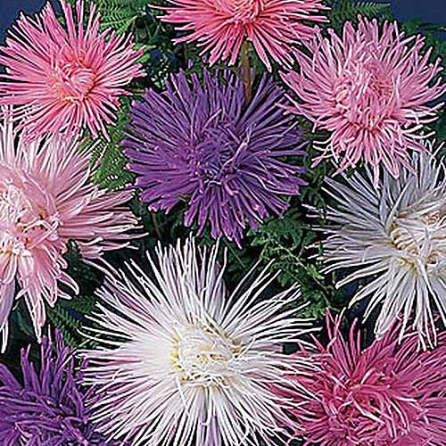 A close up of the delicate blooms of Callistephus chinensis 'Fireworks' in purple, pink, and white.
