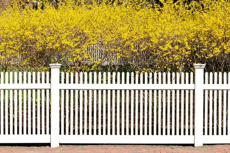 A formal hedge with bright yellow flowers growing behind a white, wooden picket fence.