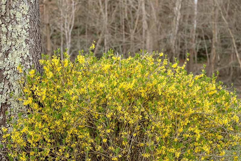 A close up of a young forsythia shrub in full bloom with bright yellow flowers, growing under a tree in a woodland location.