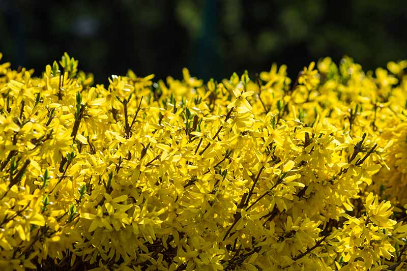 A close up of a hedge with bright yellow flowers, pictured in the sunshine on a soft focus background.