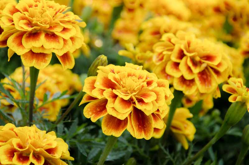 A close up horizontal image of 'Petite Gold' French marigolds pictured in light sunshine on a soft focus background.