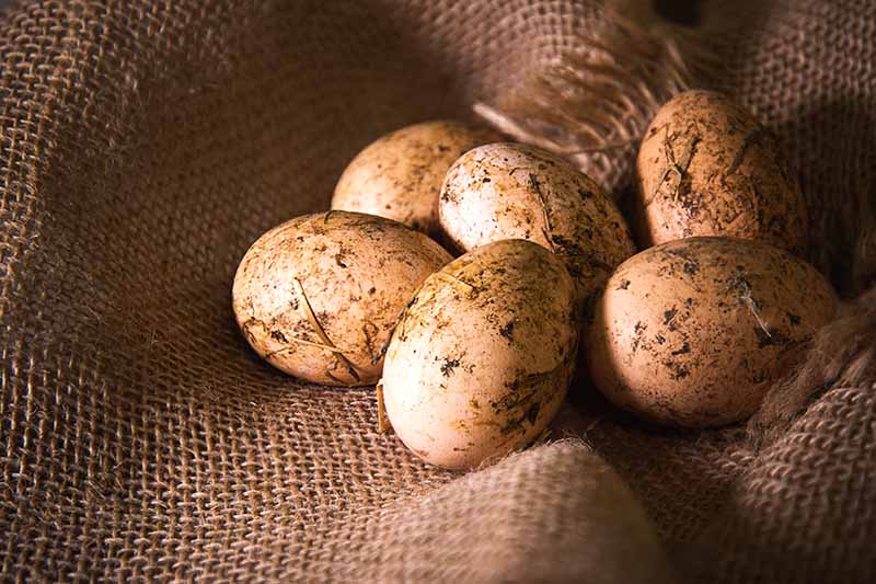 A close up of a burlap sack with freshly collected eggs from backyard chickens, still with dirt on the outside, pictured on a soft focus background.