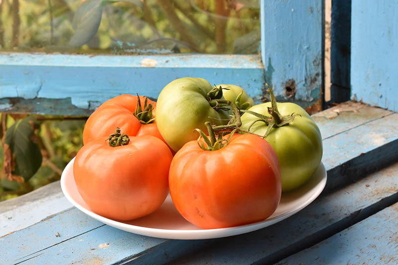 A close up of a white plate with red and green tomatoes set on a blue painted windowsill that is rotting slightly and peeling.