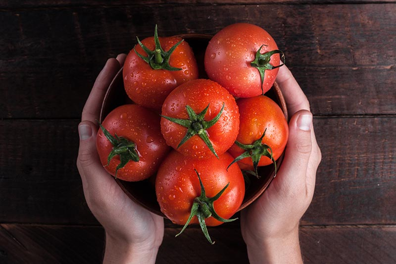 A close up, top down picture of two hands cupping a bowl filled with freshly harvested, ripe, red tomatoes with water droplets on the skin, set on a dark wooden surface.