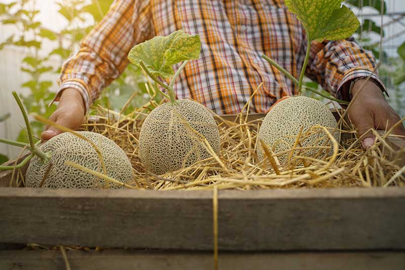 A close up of a farmer holding a wooden container with straw and three freshly harvested cantaloupe melons, on a soft focus background.