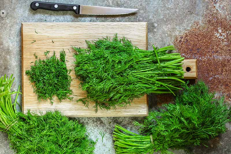 A close up of freshly harvested dill weed, Anethum graveolens on a wooden chopping board, with a knife to the top of the frame.
