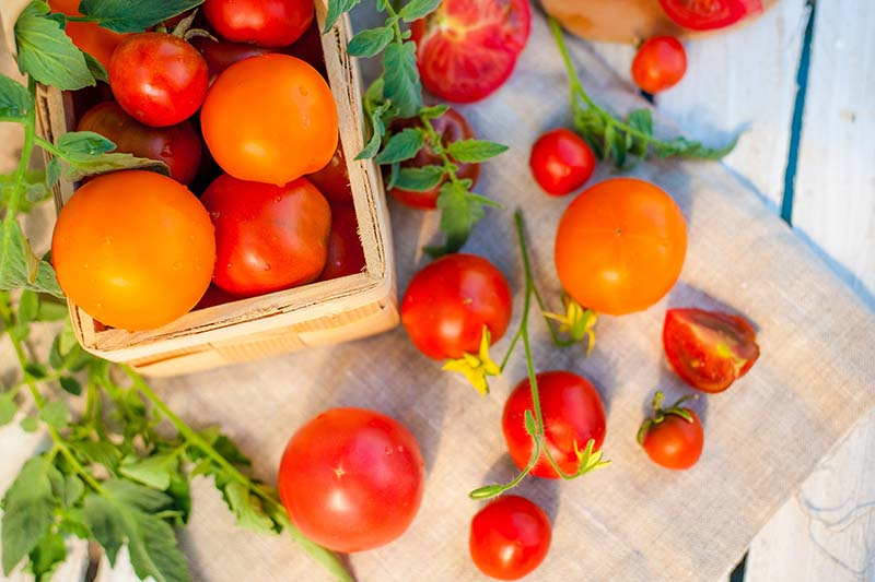 Top down picture of freshly harvested tomatoes in a small box, and scattered on a wooden surface, pictured in bright sunshine.
