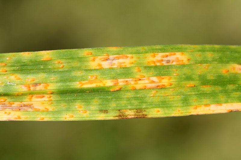 Un gros plan d'une feuille verte souffrant d'une infection fongique connue sous le nom de rouille qui crée des taches oranges à la surface.