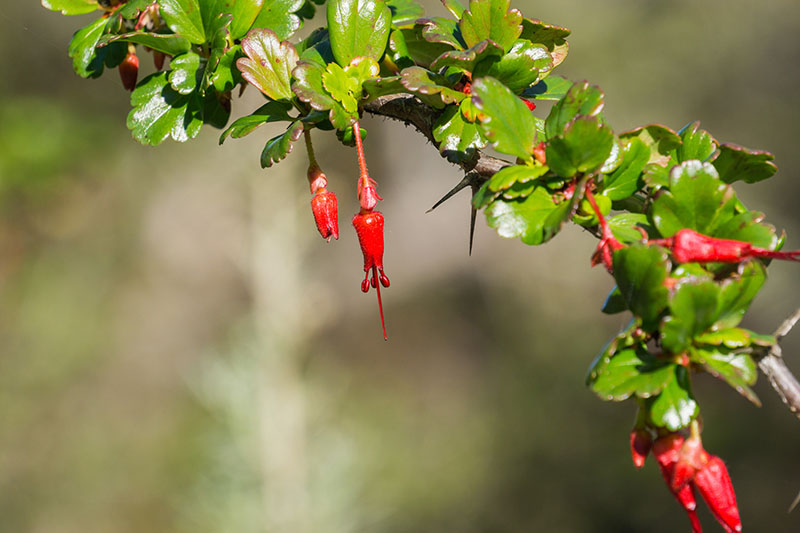 A close up of the bright red flowers of the fuchsia flowering gooseberry on a soft focus background.
