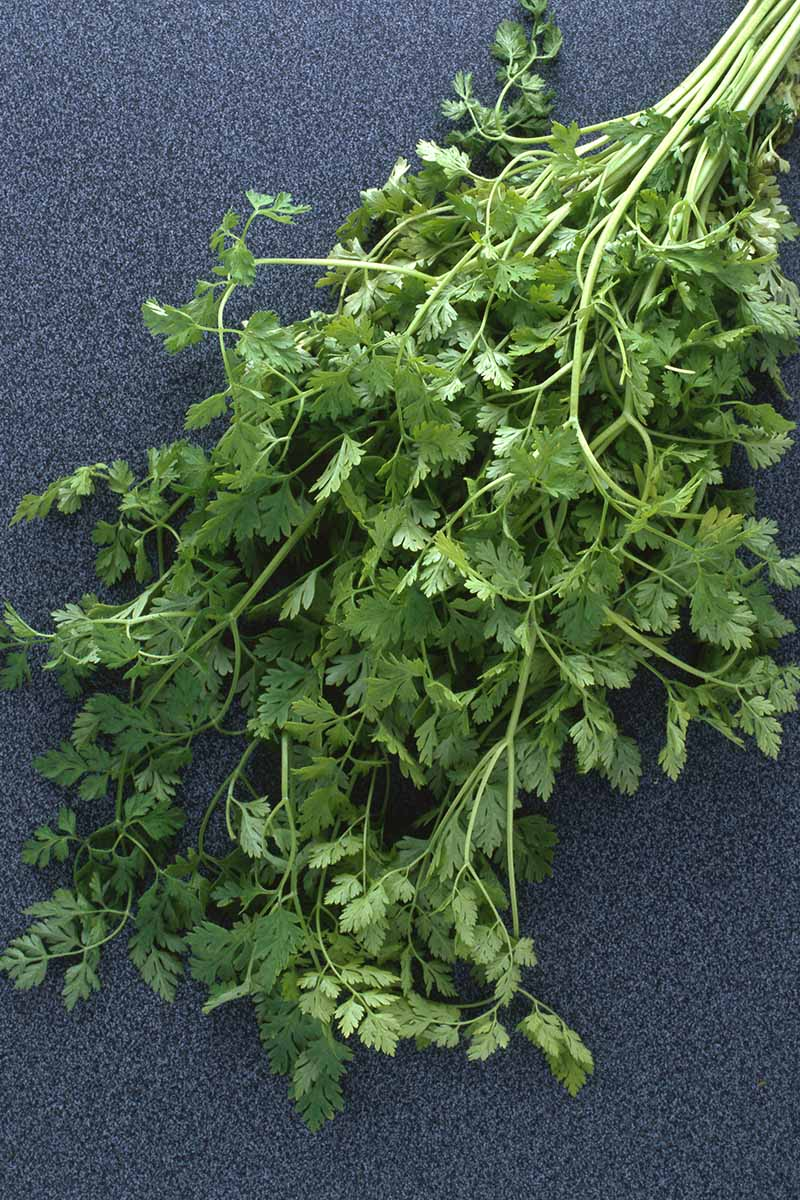 A close up vertical picture of garden fresh herbs set on a gray surface.