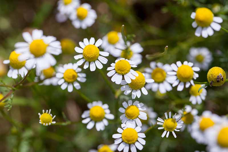 A close up of white and yellow Matricaria chamomilla flowers on a soft focus background.