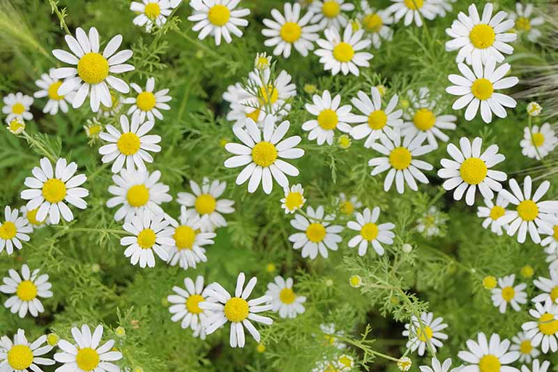 A close up of the delicate white flowers of Matricaria chamomilla in the summer garden.