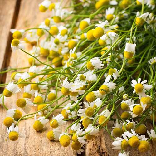 A close up of the white and yellow flowers of Matricaria recutita, set on a wooden surface.