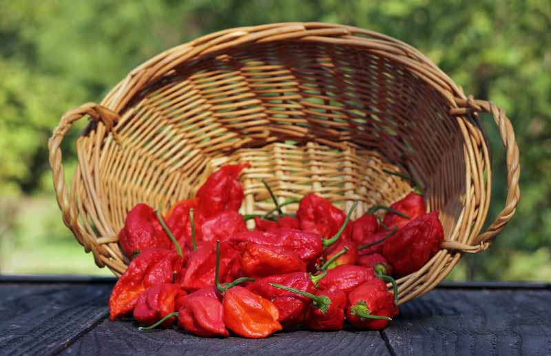 A close up of freshly harvested red ghost fruits, set in a wicker basket on a wooden surface, with a garden scene in sunshine in soft focus in the background.