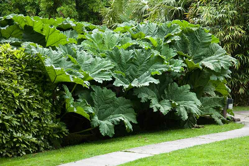 A giant rhubarb plant by the side of a concrete path surrounded by other plantings.