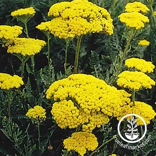 A close up of the bright yellow flowers of Achillea 'Gold Plate' growing in the garden. To the bottom right of the frame is a white circular logo and text.