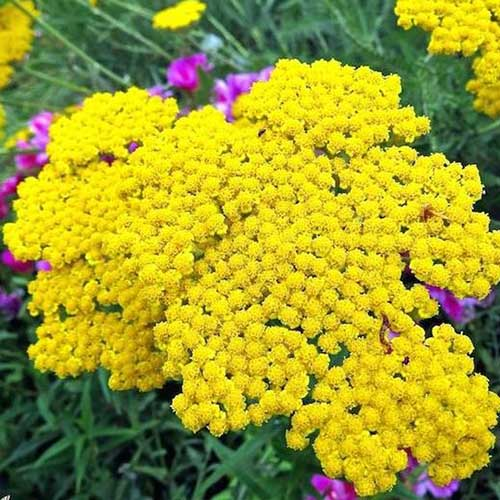 A close up of the bright yellow flowers of Achillea 'Gold' growing in the summer garden.
